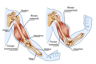 The Biceps Tendon: A mistreated and misunderstood friend